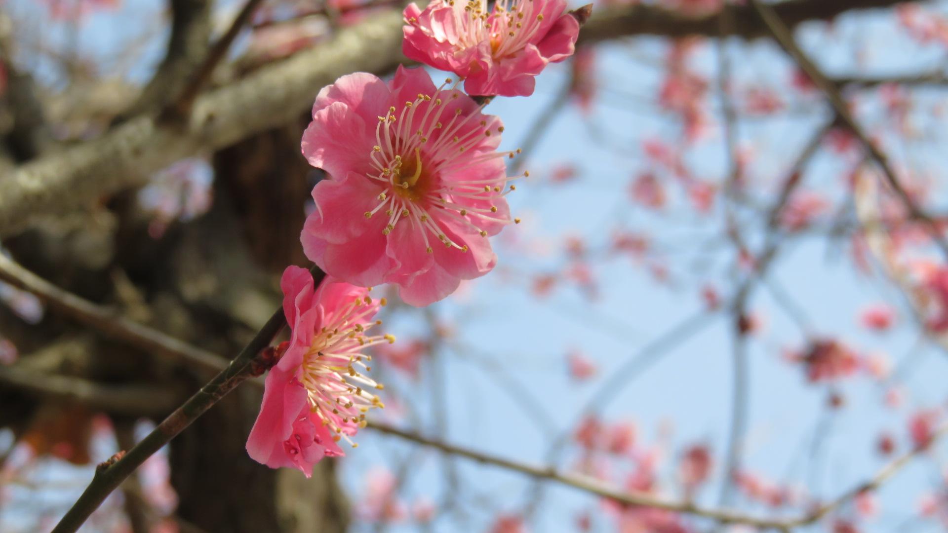 宝登山の梅